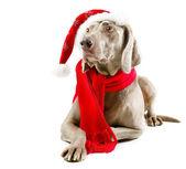 Santa hund — Stockfoto