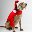 Santa dog — Stock Photo
