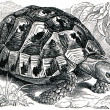 Spur-thighed tortoise or Greek tortoise — Stock Photo #11877816