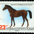 BULGARIA - CIRCA 1980: A stamp printed in BULGARIA shows a Anglo-Arabian horse, horse breed series , circa 1980 — Stock Photo