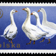 POLAND - CIRCA 1977: A stamp printed in Poland shows Anser ore Grey Goose, circa 1977 - Stock Photo