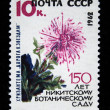 "USSR - CIRCA 1962: A stamp printed in the USSR shows Chrysanthemums ""Road to stars"", circa 1962 — Stock Photo"