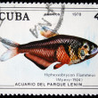 CUBA - CIRCA 1978: A stamp printed by Cuba shows the Hiphessobrycon Flammeus fish, stamp is from the series, circa 1978 - Stock Photo