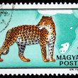 HUNGARY - CIRCA 1981: A Stamp printed in Hungary shows Leopard - Panthera pardus, circa 1981 — 图库照片