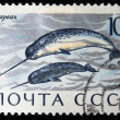 USSR - CIRCA 1971: A stamp printed in the USSR shows Narwhal - Monodon monoceros, circa 1971 — Stock Photo