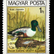 HUNGARY - CIRCA 1980: A Stamp printed in Hungary shows bird Northern Shoveler - Anas clypeata, circa 1980 — Stock Photo