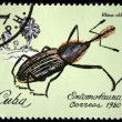 CUBA - CIRCA 1980: A stamp printed by Cuba shows the Bug Rhina oblita, stamp is from the series, circa 1980 - Stock Photo