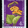 USSR - CIRCA 1972: A stamp printed in the USSR shows flower Senecio platyphylloides, circa 1972 — Stock Photo