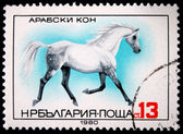 BULGARIA - CIRCA 1980: A stamp printed in BULGARIA shows a Arab horse, horse breed series , circa 1980 — Stock Photo