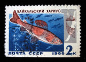 USSR - CIRCA 1966: A stamp printed in the USSR shows Baikal Grayling ore genus, circa 1966 — ストック写真