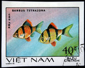 VIETNAM - CIRCA 1980: A stamp printed by Vietnam shows fish Barbus Tetrazona, stamp is from the series, circa 1980 — Stok fotoğraf