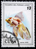 Cuba - alrededor de 1978: un sello impreso en cuba muestra el carassius auralus pescado, sello de la serie, alrededor de 1978 — Foto de Stock
