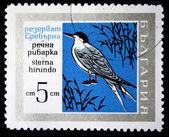 BULGARIA - CIRCA 1970s: A stamp printed in Bulgaria shows bird Common Tern - Sterna hirundo, circa 1970s — Stock Photo