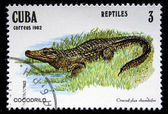 "CUBA - CIRCA 1982: A stamp printed in Cuba shows Cuban Crocodile - Crocodylus rhombifer, series ""Reptiles"", circa 1982 — Stock Photo"