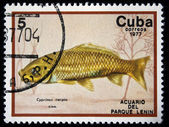 CUBA - CIRCA 1977: A stamp printed by Cuba shows the Cyprinus caprio fish, stamp is from the series, circa 1977 — Stock Photo