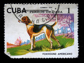 CUBA - CIRCA 1976: A stamp printed in Cuba show the dog foxhound americano, circa 1976 — Zdjęcie stockowe