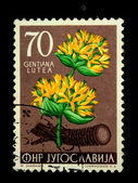 YUGOSLAVIA - CIRCA 1956: A stamp printed in Yugoslavia shows Gentiana lutea - Great Yellow Gentian, circa 1956 — Foto Stock