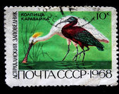 USSR - CIRCA 1968: A stamp printed in the USSR shows Glossy Ibis - Plegadis falcinellus, circa 1968 — Stock Photo