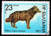 BULGARIA - CIRCA 1977: A stamp printed in Bulgaria shows Golden Jackal - Canis aureus, circa 1977 — Stock Photo
