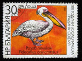 BULGARIA - CIRCA 1988: A stamp printed in Bulgaria shows Great White Pelican - Pelecanus onocrotalus, circa 1988 — Foto Stock