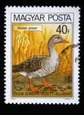 "HUNGARY - CIRCA 1980: A stamp printed in Hungary shows Graylag Goose, with the inscription ""Anser anser"", from the series ""European Nature Protection Year"", circa 1980 — Stock Photo"