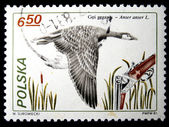 POLAND - CIRCA 1981: A stamp printed in Poland shows Greylag Goose - Anser anser, circa 1981 — Stock Photo