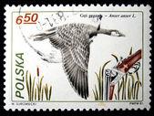 POLAND - CIRCA 1981: A stamp printed in Poland shows Greylag Goose - Anser anser, circa 1981 — Foto Stock