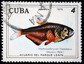 CUBA - CIRCA 1978: A stamp printed by Cuba shows the Hiphessobrycon Flammeus fish, stamp is from the series, circa 1978 — Stok fotoğraf