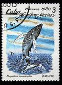 CUBA - CIRCA 1980: A stamp printed by Cuba shows Humpback whale - Megaptera novaeangliae, circa 1980 — Foto Stock