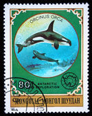 MONGOLIA - CIRCA 1980: A stamp printed in Mongolia shows Killer Whale - Orcinus orca, series Antarctic exploration, circa 1980 — Stock Photo