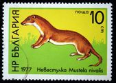 BULGARIA - CIRCA 1977: A stamp printed in Bulgaria shows Least Weasel - Mustela nivalis, circa 1977 — Stock Photo