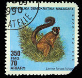 REPUBLICA MALAGASY - CIRCA 1960s: A stamp printed in Malagasy (Madagascar) shows a Lemur fulvus fulvus, circa 1960s — Stock Photo
