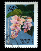 USSR - CIRCA 1971: A stamp printed in the USSR shows flower Medinilla magnifica, circa 1971 — Stock Photo
