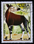 CUBA - CIRCA 1978: A stamp printed by Cuba shows the Okapi- Okapia johnstoni, stamp is from the series, circa 1978 — Stockfoto