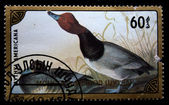 MONGOLIA - CIRCA 1986: A stamp printed in Mongolia shows Redhead - Aythya americana, circa 1986 — Photo