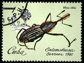 CUBA - CIRCA 1980: A stamp printed by Cuba shows the Bug Rhina oblita, stamp is from the series, circa 1980 — Stock Photo