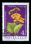USSR - CIRCA 1972: A stamp printed in the USSR shows flower Senecio platyphylloides, circa 1972 — Photo