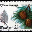 USSR - CIRCA 1980: A stamp printed in the USSR shows tree Siberian Pine - Pinus sibirica, one stamp from series, circa 1980 - Stock Photo