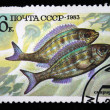 USSR - CIRCA 1983: A stamp printed in the USSR shows Spicara smaris, circa 1983 - Stock Photo
