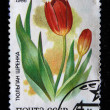 USSR - CIRCA 1986: A stamp printed in the USSR shows Srenks tulip, circa 1986 — Stock Photo