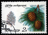USSR - CIRCA 1980: A stamp printed in the USSR shows tree Siberian Pine - Pinus sibirica, one stamp from series, circa 1980 — Stock Photo