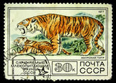 USSR - CIRCA 1977: A stamp printed in the USSR shows Siberian tiger - Panthera tigris altaica, circa 1977 — Stock Photo