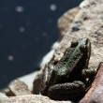 European common green frog — Stock Photo