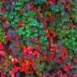 Japanese creeper - Stock Photo
