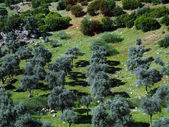 Fields of olive-trees — Stock Photo