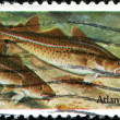 Stock Photo: Atlantic Cod