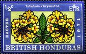 Tabebuia chrysantha — Stock Photo