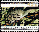 Little Pygmy Possum — Stock Photo