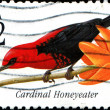 Cardinal Honeyeater — Stock Photo #38091939