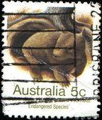 Wombat — Photo